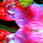 Things You Need to Know About Betta Fish Breeding