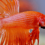 Betta Fish Feeding – Keeping Them Fed And Happy!
