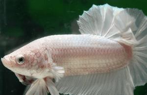 betta fish life